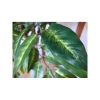Artificial plant - Jennifer